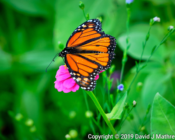 Monarch butterfly on a Zinnia Flower. Image taken with a Fuji X-H1 camera and 80 mm f/2.8 macro lens + 1.4x teleconverter (DAVID J MATHRE)
