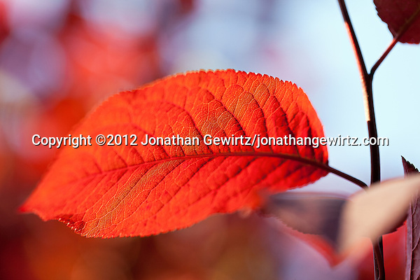 Backlit red tree leaves. (© 2012 Jonathan Gewirtz / jonathan@gewirtz.net)