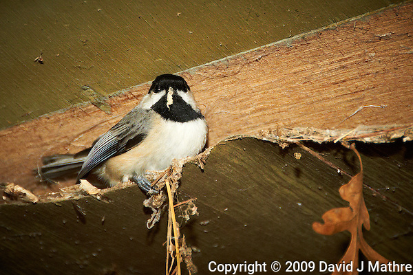 Black-capped Chickadee trying to keep warm. Image taken with a Nikon D300 and 18-200  mm VR lens (ISO 800, 200 mm, f/5.6, 1/60 sec, flash). (David J Mathre)