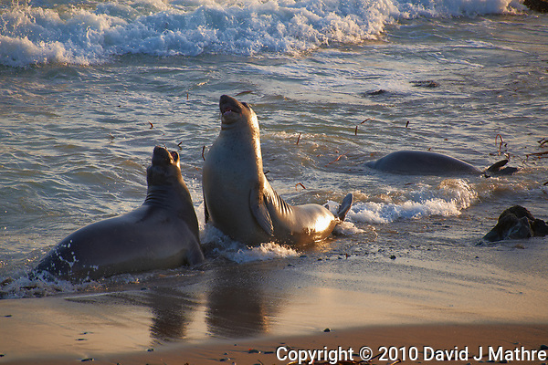 Young Male Elephant Seals Jousting at Piedras Blancas Beach, Central California Coast. Image taken with a Nikon D3x and 70-300 mm VR lens (ISO 400, 300 mm, f/8, 1/200 sec). (David J Mathre)