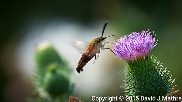 Hummingbird Clearwing Moth feeding on on Thistle flowers. Image taken with a Nikon D4 camera and 300 mm f/4 lens (ISO 100, 300 mm, f/8, 1/250 sec). (David J Mathre)