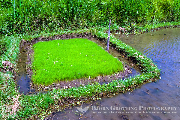Bali, Gianyar, Bedulu. Baby rice ready to be planted on the irrigated rice fields. (Photo Bjorn Grotting)