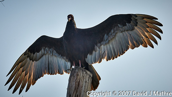 Turkey Vulture on a post at Fort De Soto park in Pinellas County, Florida. Image taken with a D300 camera and 200 mm f/2 VR lens with a TC-EII 2x teleconverter (ISO 200, 400 mm, f/11, 1/500 sec). (David J Mathre)