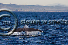 Blue Whale, Balaenoptera musculus, Dana Point, California (Steven W Smeltzer)