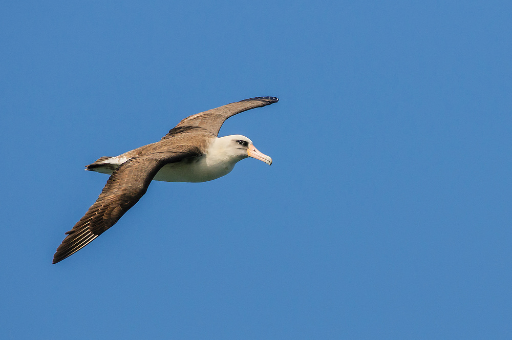 Laysan Albatross on Kauai, a bird that will commute from Alaska to Hawaii every year (Doug Oglesby)