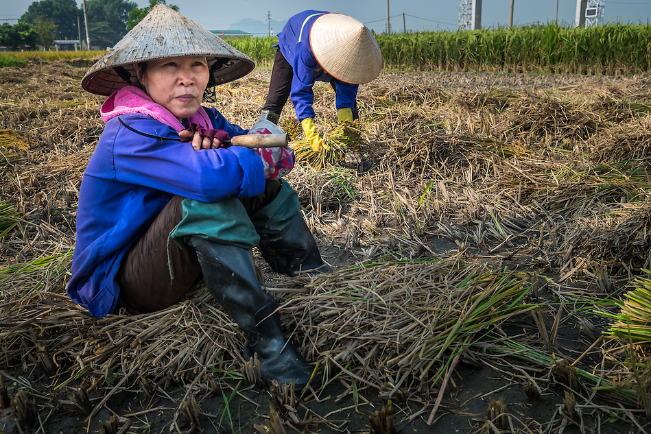 VIETNAM - CIRCA SEPTEMBER 2014:  Vietnamese women harvesting rice in the countryside. (Daniel Korzeniewski)
