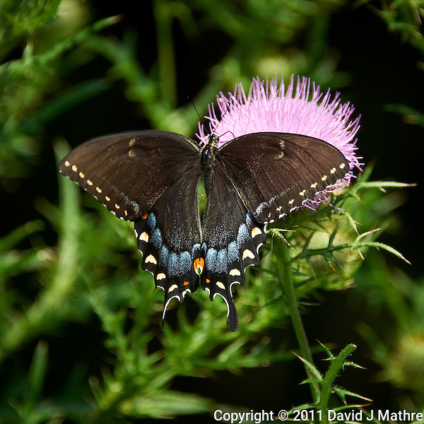 Black Swallowtail Butterfly on Thistle Bloom. Sourland Mountain Preserve, Summer Nature in New Jersey. Image taken with a Nikon D700 and 28-300 mm VR lens (ISO 200, 300 mm, f/5.6, 1/400 sec). Raw image processed with Capture One Pro 6, Nik Define, and Photoshop CS5. (David J Mathre)