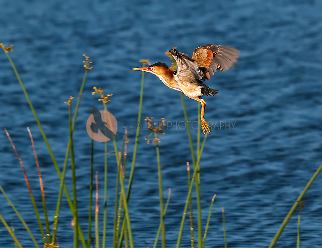 Least Bittern taking off from reeds with water in background (sandra calderbank)
