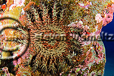 Crown of Thorns starfish, Acanthaster planci, (Linnaeus, 1758), Kona Hawaii (Steven W Smeltzer)