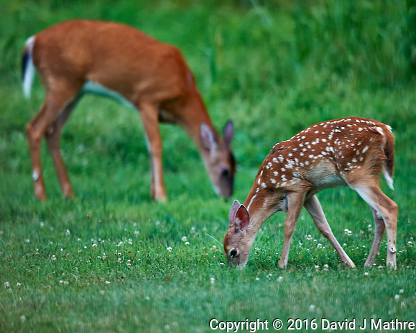 Young Fawn with Spots and Doe. Early Evening Natural Lawn Service that I don't have to pay for. I will not comment what they did to my wildflower patch. Image taken with a Nikon D3x camera and 600 mm f/4 VR lens (ISO 1600, 600 mm, f/4, 1/160 sec). (David J Mathre)