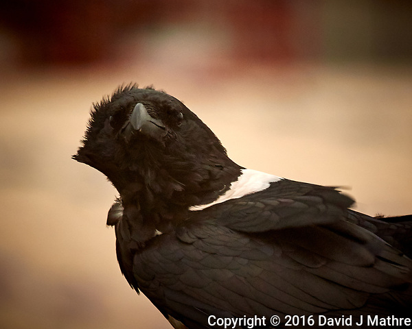 Pied Crow on the MV World Odyssey while docked in Takoradi, Ghana. Image taken with a Nikon 1 V3 camera and 70-300 mm VR lens (ISO 200, 212 mm, f/5.6, 1/125 sec). (David J Mathre)