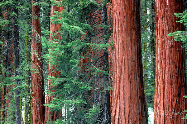 Giant Sequoias amid young pines in the Giant Forest, Sequoia National Park, California (Russ Bishop/Russ Bishop Photography)