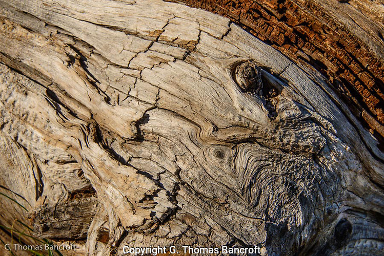 Probably a magnificient White-bark Pine that was killed in a fire long ago.  The pattern in the wood was intriquing. (G. Thomas Bancroft)