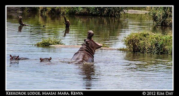 Yawning Hippo.Keekorok Lodge, Maasai Mara, Kenya.September 2012 (Kim Day)