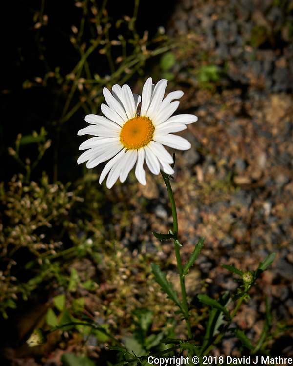 Daisy Flower. Image taken with a Leica CL camera and 18 mm f/2.8 lens. (David J Mathre)