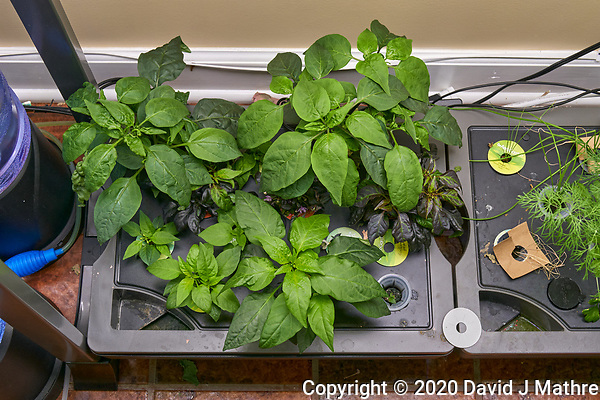 AeroGarden Farm 02, Right. Pepper Plants (106 days). Image taken with a Leica TL-2 camera and 35 mm f/1.4 lens (ISO 400, 35 mm, f/8, 1/50 sec). (DAVID J MATHRE)