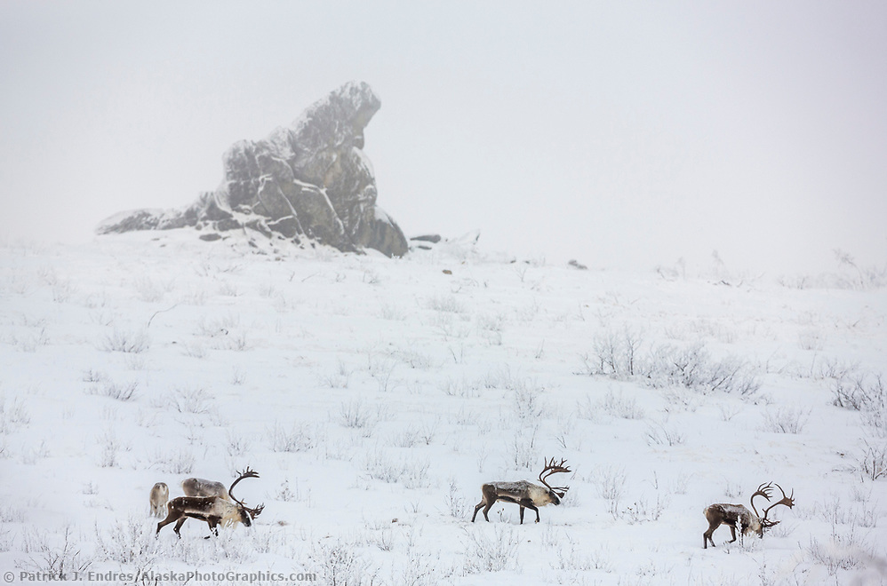 Bull caribou in foggy winter weather on Finger mountain, with Finger rock in the background, Alaska. (Patrick J. Endres / AlaskaPhotoGraphics.com)