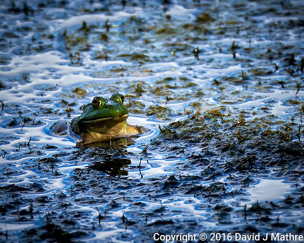 Kermit the Bullfrog in the Pond. Image taken with a Fuji X-T1 camera and 100-400 mm OIS lens (ISO 200, 400 mm, f/5.6, 1/180 sec). (David J Mathre)
