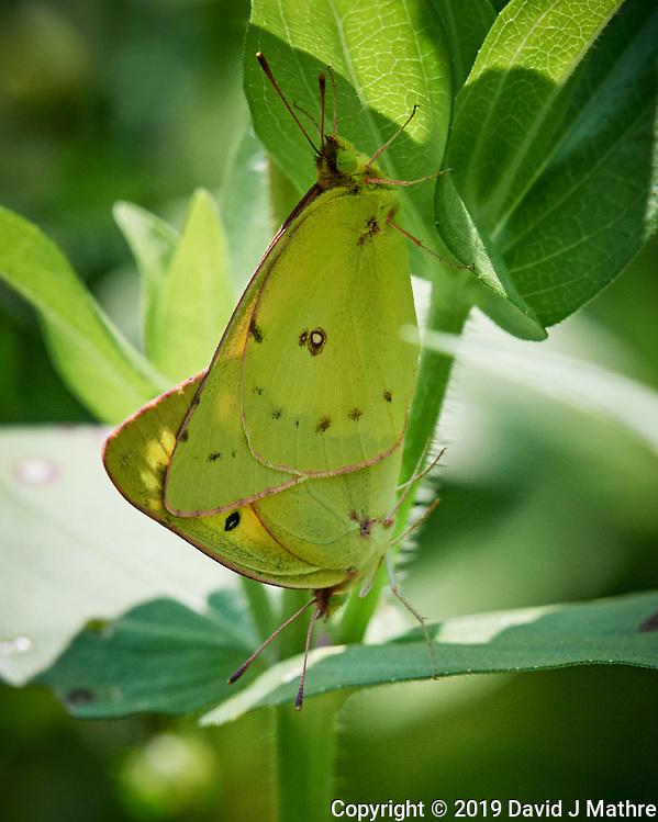 Pair of Sulphur butterflies mating. Image taken with a Nikon D5 camera and 200-500 mm f/5.6 VR lens (DAVID J MATHRE)