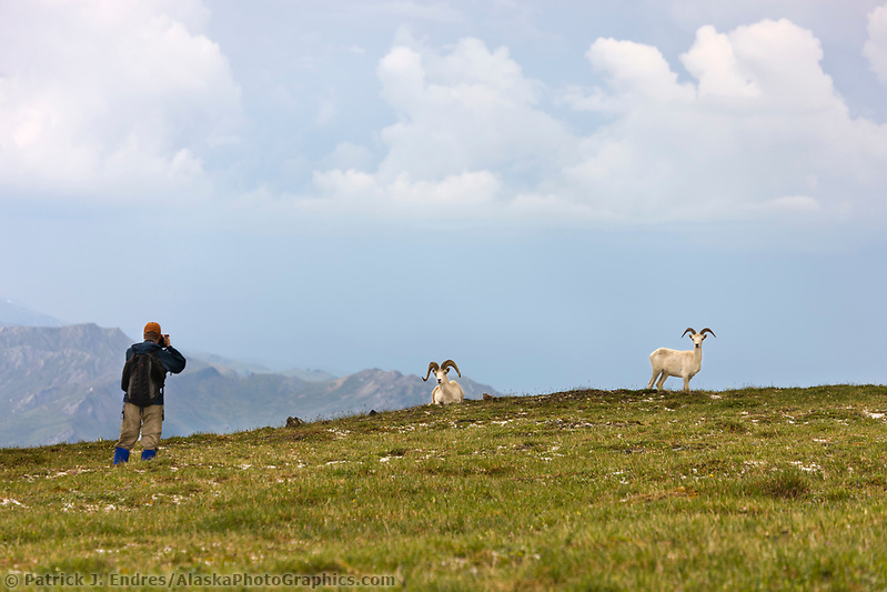 Hiker photographs Dall sheep on a mountain ridge in Denali National Park, interior, Alaska. (Patrick J. Endres / AlaskaPhotoGraphics.com)