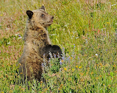 Although still nursing, this young grizzly cub also enjoys the abundant vegetation of the summer months in Yellowstone Park. Some favorites include; biscuitroot, cow parsnip, clover, and horsetail. (Sandy Sisti)