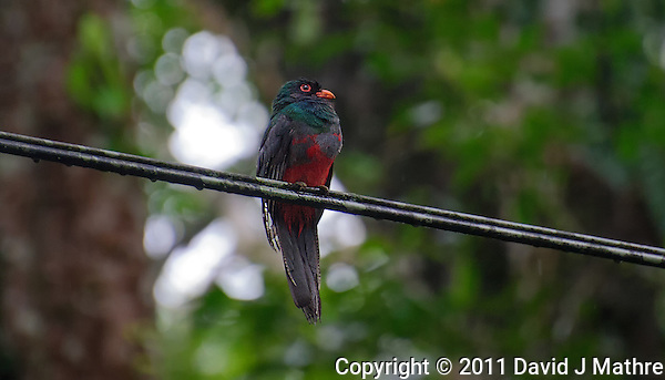 Trogon with a Red Breast. Rain Forest in Costa Rica. Image taken with a Nikon D3s and 70-300 mm VR lens (ISO 2000, 300 mm, f/5.6, 1/250 sec). Raw image processed with Lightroom 4. (David J. Mathre)