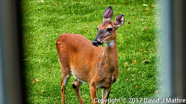 Doe just outside my laundry room. Backyard spring nature in New Jersey. Image taken with a Fuji X-T2 camera and 100-400 mm OIS lens (ISO 200, 100 mm, f/6.4, 1/45 sec). (© 2017 David J Mathre)