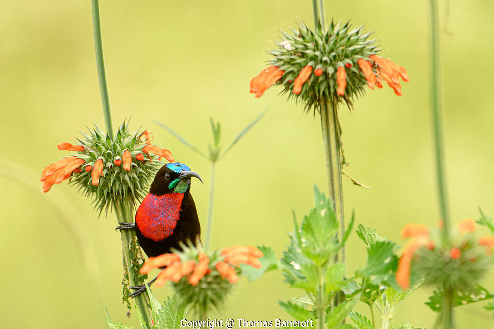The Scarlet-chested Sunbird flitted to a new flower stem and hung just below the flower cluster looking back at me. Nairobi National Park, Kenya. (Thomas Bancroft)