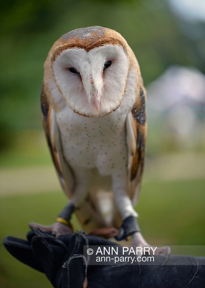 Old Westbury, New York, U.S. - August 23, 2014 - COSMO the Barn Owl (Tyto alba) is from WINORR, Wildlife in Need of Rescue and Rehabilitation, at the 54th Annual Long Island Scottish Festival and Highland Games, co-hosted by L. I. Scottish Clan MacDuff, at Old Westbury Gardens. WINORR is run by the Horvaths, licensed animal rehabilitators in North Massapequa. (Ann Parry/Ann Parry, ann-parry.com)