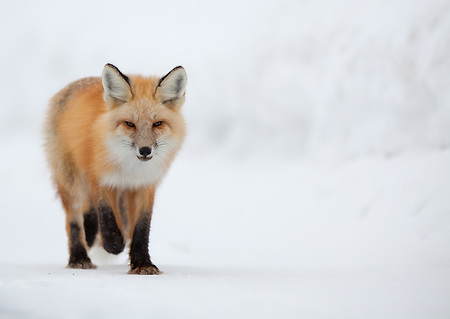 A single red fox slowly trots up Yellowstone National Park's North road in the winter. (Benjamin Chase / Ben Chase Photography)