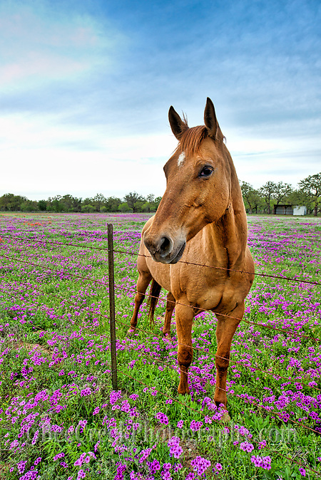 Horse in Wildflowers D82 9120 Photos from Texas   Horse in Wildflowers