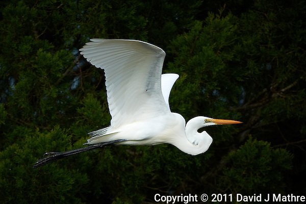 Great Egret in Flight in Merritt Island Wildlife Refuge. Image taken with a Nikon D3x and 500 mm f/4 VR lens (ISO 100, 500 mm, f/4, 1/2000 sec). (David J Mathre)