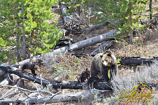 "Four Grizzly Bear Cubs in Yellowstone National Park (Daryl Hunter's ""The Hole Picture"" � Daryl L. Hunter has been photographing the Yellowstone Region since 1987, when he packed up his view camera, Pentex 6X7, and his 35mm�s and headed to Jackson Hole Wyoming. Besides selling photography Daryl also publ/Daryl L. Hunter)"
