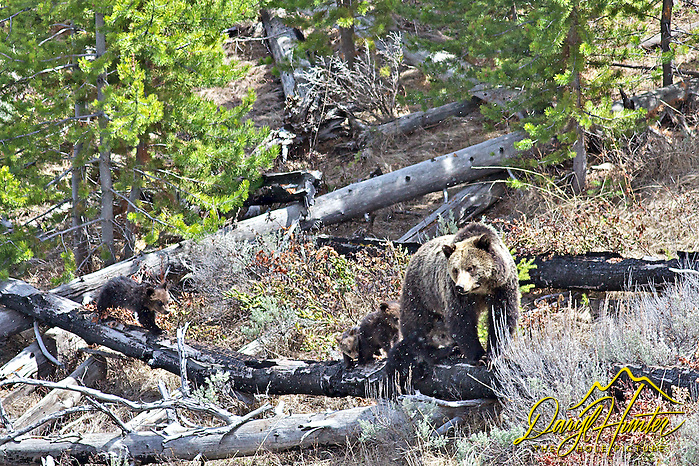 Four Grizzly Bear Cubs in Yellowstone National Park