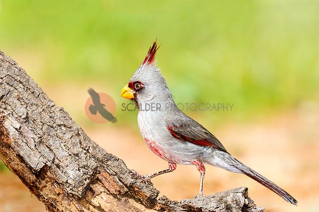 Male Pyrrhuloxia perched on a tree limb with bird in profile (sandra calderbank)