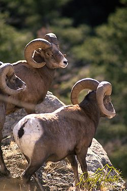 Three Bighorn Rams, Yellowstone National Park