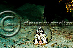 Smooth Trunkfish, Lactophrys triqueter, Grand Cayman (StevenWSmeltzer.com)