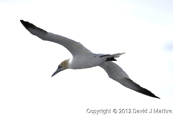 Northern Gannet in Flight From Deck 7 of the M/V Explorer Traveling in the English Channel. Image taken with a Nikon D800 and 70-300 mm VR lens (ISO 100, 300 mm, f/5.6, 1/2000 sec). (David J Mathre)