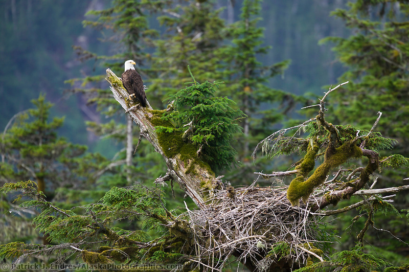 Bald eagle perched on a branch in a tree by its nest, Western Prince William Sound, Alaska (Patrick J. Endres / AlaskaPhotoGraphics.com)
