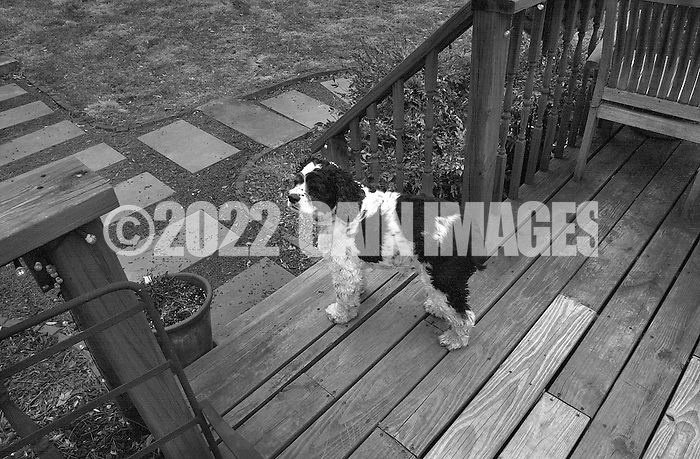 HARTSVILLE, PA - MARCH 25:   Cooper the cocker spaniel stands on a deck looking out into a yard March 25, 2014 in Hartsville, Pennsylvania. (Photo by William Thomas Cain/Cain Images) (William Thomas Cain)