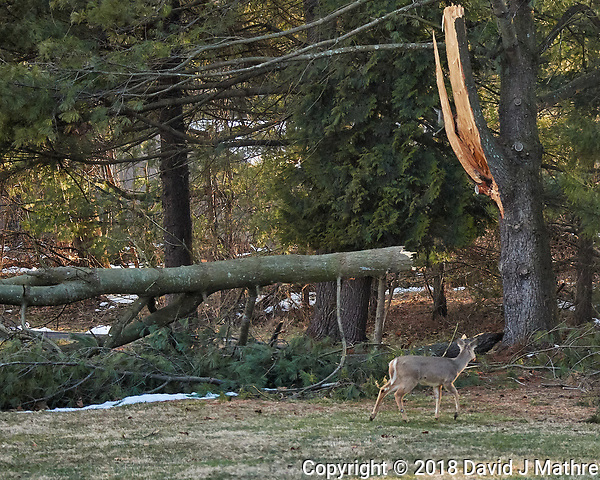 Deer checking out the large branch that broke off the pine tree during the last Nor'easter. Image taken with a Nikon D5 camera and 80-400 mm VRII lens (ISO 4000, 130 mm, f/4.8, 1/2000 sec). (David J Mathre)