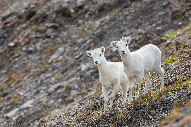 Dall sheep lambs, Atigun pass, Brooks Range mountains, arctic, Alaska. (Patrick J Endres / AlaskaPhotoGraphics.com)