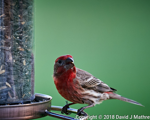 House Finch. Image taken with a Nikon D4 camera and 600 mm f/4 VR lens. (David J Mathre)