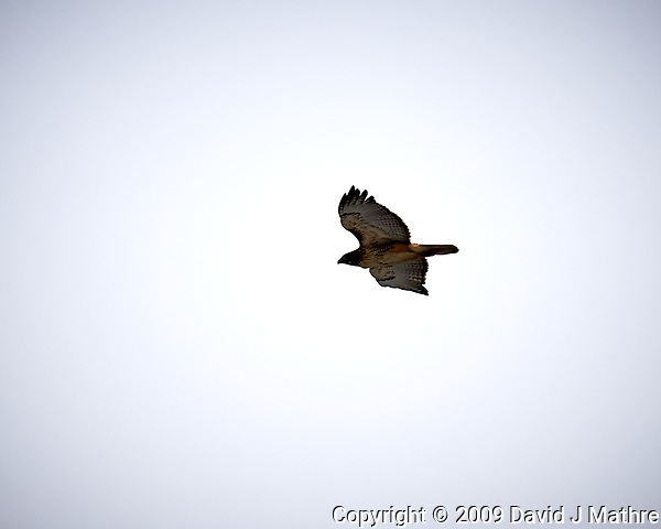Red-tailed Hawk in flight at the Sourland Mountain Preserve. Image taken with a Nikon D300 camera and 18-200 mm VR lens (ISO 200, 200 mm, f/7.1, 1/200 sec). (David J Mathre)