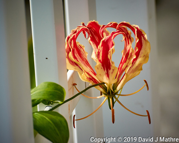 Flame Lily Flower. Image taken with a Nikon 1 V3 camera and 70-300 mm VR lens (ISO 160, 121 mm, f/5, 1/1000 sec). (DAVID J MATHRE)