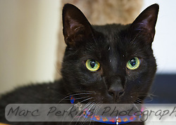 Hurricane, a seven year old male short-haired black cat, staring into the camera for a portrait.  Hurricane is a very intelligent, outgoing cat who loves people and is not afraid of anything, but who needs to live in a house without other pets as he can be aggressive to other dogs and cats.  Hurricane is up for adoption at Miss Kitty's Rescue in Costa Mesa, CA.  This picture was taken pro bono for Miss Kitty's Rescue to help them advertise the cats for adoption. (Marc C. Perkins)