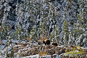 Black Bear sow and cubs, Autumn, new snow, Glacier National Park