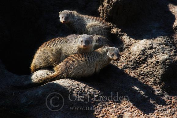 Banded Mongoose (Mungos mungo) in Masai Mara, Kenya (Ole Jørgen Liodden)