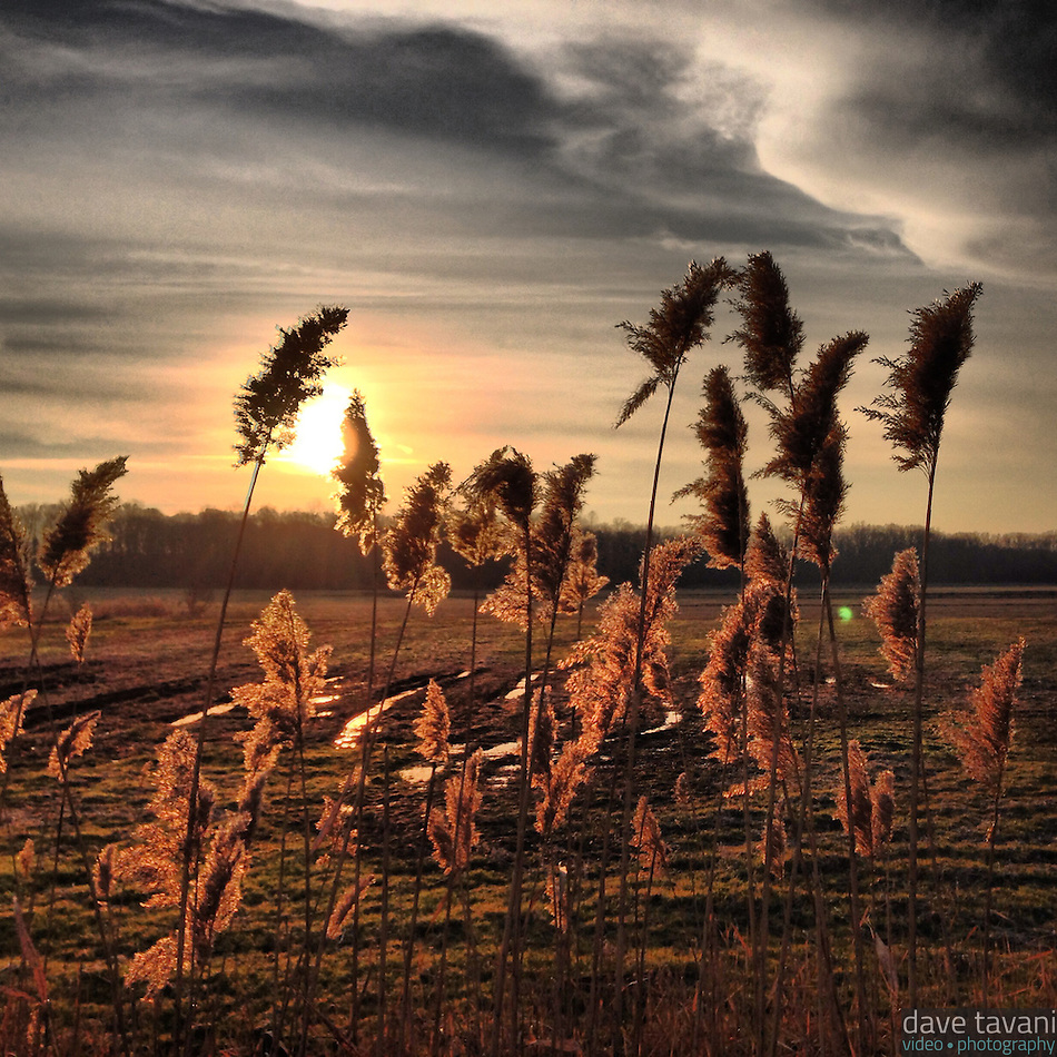 Reeds sway in the breeze and afternoon sun along 309 in Quakertown on December 15, 2012. (Dave Tavani)