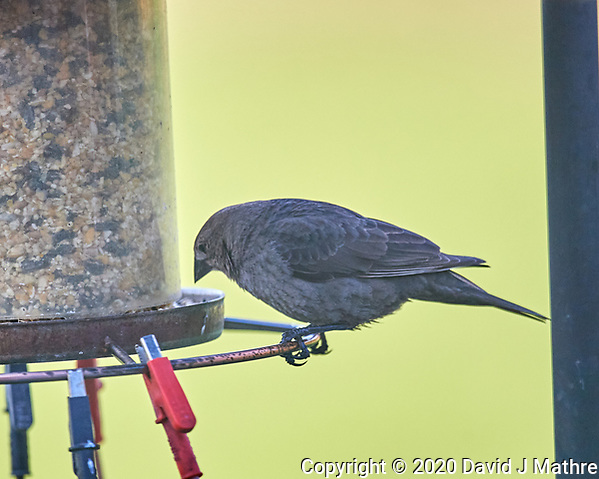Female Brown-headed Cowbird. Image taken with a Nikon D5 camera and 600 mm f/4 VR lens (ISO 1250, 600 mm, f/4, 1/1250 sec). (DAVID J MATHRE)